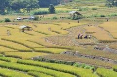 Ernten auf dem terassenförmig angelegten Paddygebiet Lizenzfreie Stockfotografie