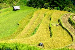 Ernten auf Reisfeldern Lizenzfreie Stockfotografie