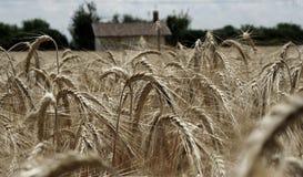 Ernten bereit zur Ernte in Italien lizenzfreie stockbilder