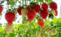 Ernten der frischen reifen großen roten Erdbeerfrucht im niederländischen Grün stockfoto