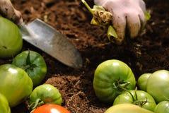 Ernten der grünen Tomaten Lizenzfreie Stockfotos