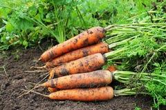 Ernten der Karotten Frische Karotten, die auf dem Boden liegen Lizenzfreies Stockbild