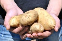 Ernten der Kartoffeln lizenzfreies stockbild