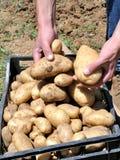 Ernten der Kartoffeln lizenzfreie stockfotografie
