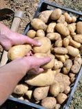 Ernten der Kartoffeln stockfotos