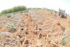 Ernten der Manioka lizenzfreies stockfoto