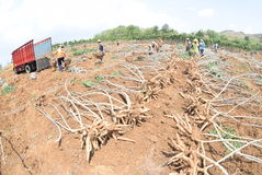 Ernten der Manioka stockbild
