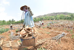 Ernten der Manioka lizenzfreie stockfotos