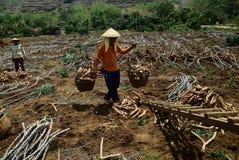 Ernten der Manioka stockfoto