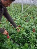 Ernten der Pfingstroseblumen Stockfotos