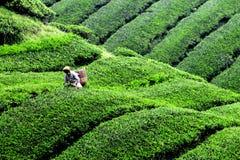Ernten der Teeplantage in Cameron Highland stockfoto
