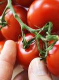 Ernten der Tomaten Stockbild