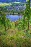 Ernten der Trauben Stockfotos