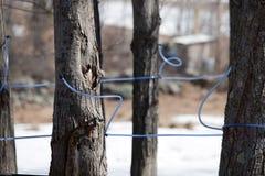 Ernten des Ahornholzsirups Stockbilder