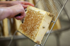 Ernten des frischen Honigs vom Bienenbienenstock Stockbild