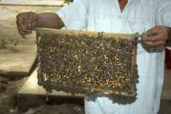 Ernten des Honigs Stockbilder