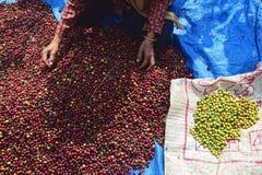 Ernten des KAFFEES IN INDONESIEN Stockfoto