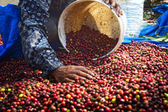 Ernten des KAFFEES IN INDONESIEN lizenzfreie stockfotografie