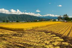 Ernten des Reises in der Präfektur Nagano Stockfoto