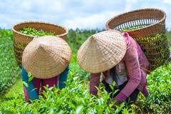 Ernten des Teeblatts Stockfoto