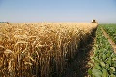 Ernten des Weizens Stockfotografie