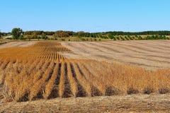 Ernten einer Ernte der Sojabohnen Lizenzfreie Stockbilder