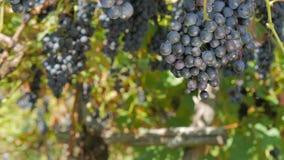 Ernten einer Weintraube stock video