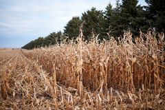 Ernten eines Feldes von Mais im Herbst Lizenzfreie Stockfotografie