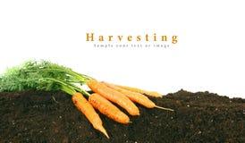 Ernten Frische Karotten auf Erde Stockfotografie