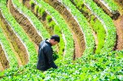 Ernten im Erdbeerbauernhof Lizenzfreies Stockbild