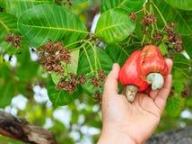 Ernten mit der Hand der Acajoubaumfrucht auf Baum Stockbild