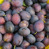 Ernten Sie, die frischen blauen Landwirtpflaumen, die auf dem Bauernhof im Herbst geerntet werden Stockbild