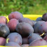 Ernten Sie, die frischen blauen Landwirtpflaumen, die auf dem Bauernhof im Herbst geerntet werden Stockfotografie