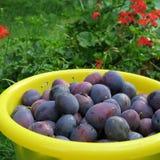 Ernten Sie, die frischen blauen Landwirtpflaumen, die auf dem Bauernhof im Herbst geerntet werden Stockfotos