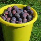 Ernten Sie, die frischen blauen Landwirtpflaumen, die auf dem Bauernhof im Herbst geerntet werden Stockfoto