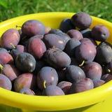 Ernten Sie, die frischen blauen Landwirtpflaumen, die auf dem Bauernhof im Herbst geerntet werden Lizenzfreies Stockbild