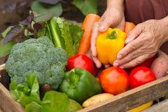 Ernten Sie organischen Garten des Gemüses zu Hause, das selbst gemachte Produkt, das zum Verkauf bereit ist lizenzfreies stockfoto