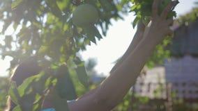 Ernten von Äpfeln im Garten stock video footage