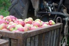 Ernten von Äpfeln im Obstgarten Behälter mit Äpfeln Rustikale Art lizenzfreie stockfotografie