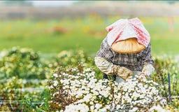 Ernten von chrysanthemumdaisies Stockbilder