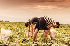 Ernten von den Helfern, welche die Gurken aufheben Lizenzfreie Stockfotografie