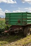 Ernten von frischen Kohlpflanzen auf dem Gebiet Stockbild