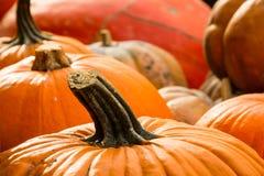 Ernten von Kürbisen für Halloween Stockfoto