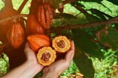 Ernten von Kakaofrüchten stockfoto