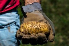 Ernten von Kartoffeln: Detail Stockfoto
