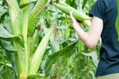Ernten von Mais stockbild