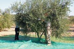 Ernten von Oliven Stockfotos
