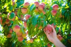 Ernten von Pfirsichen im Garten Lizenzfreies Stockbild
