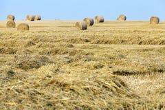Ernten von reifen Getreide Lizenzfreie Stockbilder