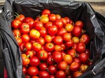 Ernten von Tomaten lizenzfreies stockfoto